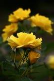 Rose gialle Immagini Stock Libere da Diritti