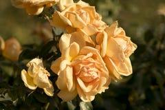 Rose gialle calde Fotografia Stock