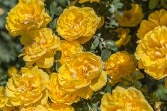 Rose gialle che fioriscono a giugno Fotografia Stock Libera da Diritti
