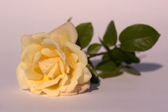 Rose gialle di gelosia Immagine Stock