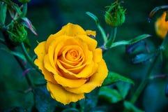 Rose gialle dopo la pioggia Fotografia Stock
