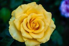 Rose gialle dopo la pioggia Fotografia Stock Libera da Diritti