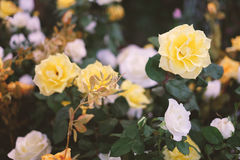 Rose gialle e bianche che fioriscono nel giardino per fondo o struttura, giorno del ` s del biglietto di S. Valentino Fotografia Stock