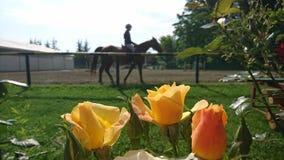 Rose gialle e cavallo Fotografia Stock