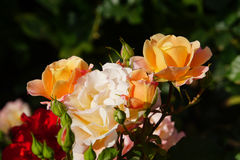 Rose gialle meravigliose Immagini Stock Libere da Diritti