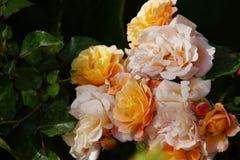 Rose gialle meravigliose Immagini Stock