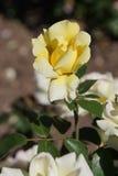 Rose gialle meravigliose Fotografia Stock