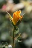 Rose gialle meravigliose Fotografie Stock Libere da Diritti