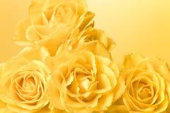 Rose gialle pastelli con la priorità bassa delle goccioline Fotografia Stock Libera da Diritti