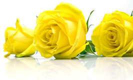 Rose gialle su bianco Fotografia Stock Libera da Diritti