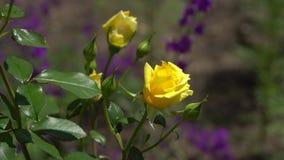 Rose gialle sul ramo I precedenti sono sfuocato video d archivio