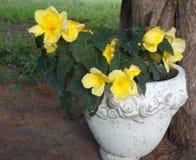 Rose gialle in un vaso di fiore del gres Fotografie Stock Libere da Diritti