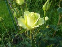 Rose giallo-chiaro nel giardino obliquamente fotografie stock libere da diritti