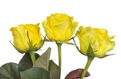 Rose - giallo isolato Immagine Stock