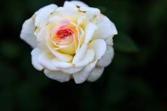 Rose in giardino il giorno nuvoloso con le gocce di pioggia Fotografia Stock