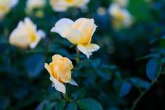 Rose in giardino il giorno nuvoloso con le gocce di pioggia Immagine Stock