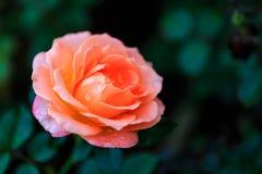 Rose in giardino il giorno nuvoloso con le gocce di pioggia Fotografia Stock Libera da Diritti