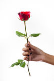 Rose. Give rose to darling in valentine's day. or send love to marry royalty free stock images