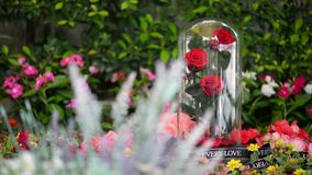 Rose in glass dome stay on the garden.  stock video