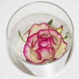 Rose in glass Stock Photos