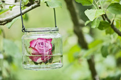 Rose in a glass Stock Photography