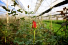Rose in glasshouse Stock Images