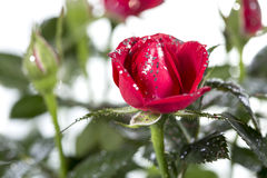 Rose with glitter Stock Images