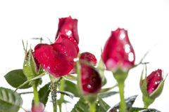 Rose with glitter Royalty Free Stock Photography