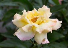 Rose Gloria Day Stock Photos