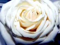 Rose Glow. Pale Ivory rose in full bloom royalty free stock images