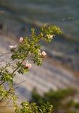 Rose.GN selvaggio Fotografia Stock Libera da Diritti