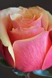 Rose Gold Pink Orange Fotografia de Stock