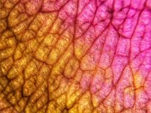 'Rose gold'. A single dying rose petal, olloclip macro @ 21x on iPhone, abstract, creative, art Stock Photo
