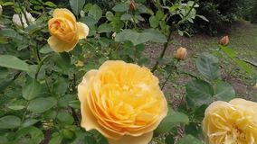 Rose Golden Celebration Bush