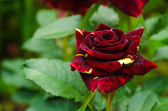 Rose of a grade Abracadabra Royalty Free Stock Photography