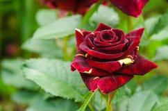 Rose of a grade Abracadabra Stock Image