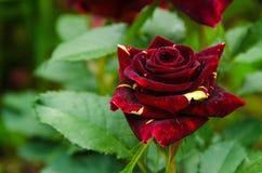 Rose of a grade Abracadabra. Motley Rose of a grade Abracadabra on a bed Royalty Free Stock Photography