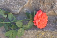 Rose on granite jpg. Rose on granite Background,bloom,closeup,flora,flower,fresh,garden,green,herb,leaf,natural,nature,organic,outdoor,plant,season,spring,summer Royalty Free Stock Image