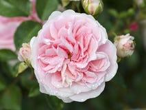 Rose Granny foto de stock royalty free