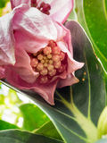 Rose grape, medinilla magnifica, melastomataceae Royalty Free Stock Photography