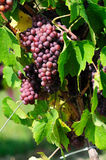 Rose grapes Royalty Free Stock Photography