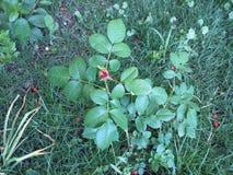 Rose, Gras, Frühling und ein Stückchen der Wärme Lizenzfreie Stockfotos