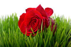 Rose in the grass closeup. Large red rose in a green grass Stock Photo