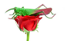 Rose and grasshopper Stock Photography