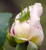 Rose grasshopper. Grasshopper, locust, green is sitting on the Bud of pink roses in summer close-up Stock Photos