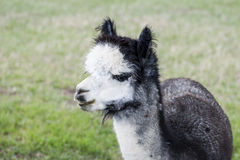 Rose Gray Alpaca Royalty Free Stock Images