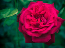 Rose on a green blurred background Stock Images