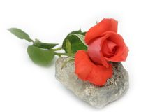 Rose on a grey stone. Scarlet rose on a grey stone on a white background Stock Images