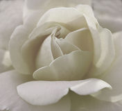 Rose in grey and white Royalty Free Stock Photography