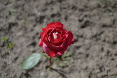 Rose in the ground stock images